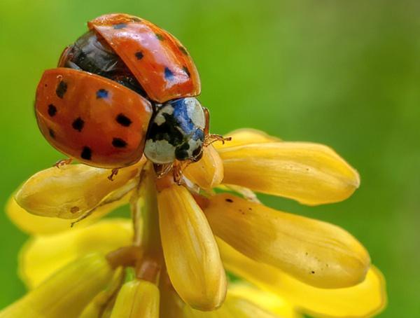 Ladybird beetle by jbsaladino