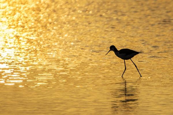 Wading at sunset by jbsaladino