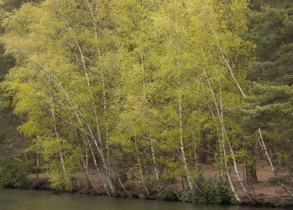 Simon\'s Birches by andycphotos