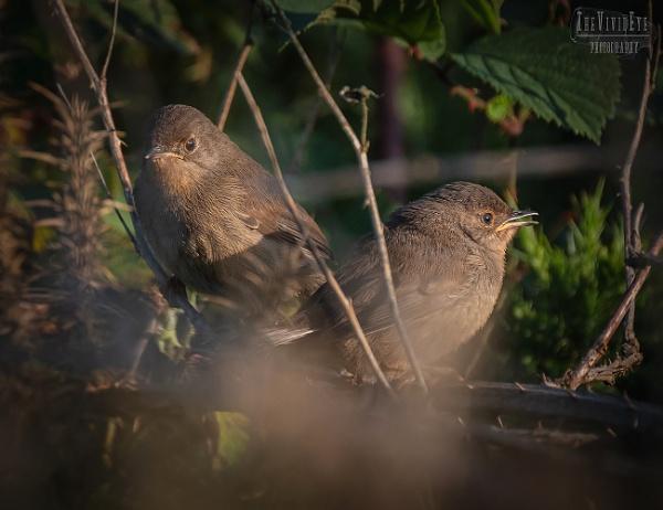 Juvenile Dartford Warblers by MartinWait