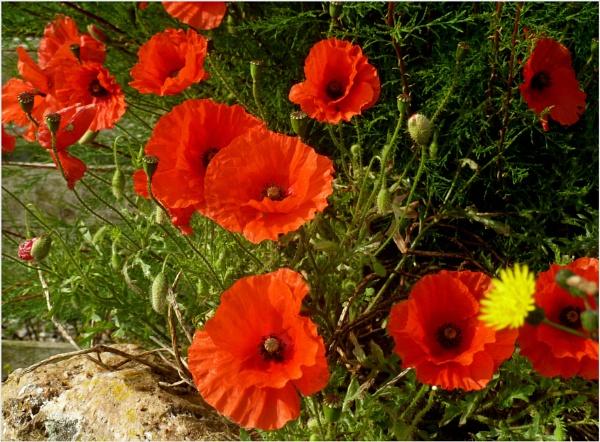 Wild poppies at Trevose by JuBarney