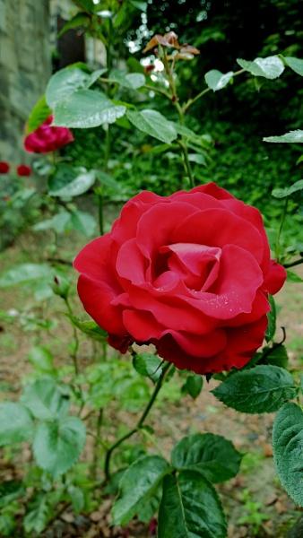 Regina rosas amat by pablophotographer