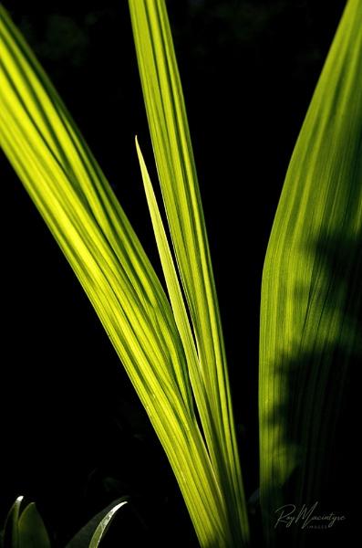 Backlit Leaves by Roymac