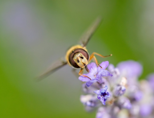 Hoverfly Portrait by doverpic