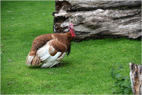 One Turkey by johnriley1uk