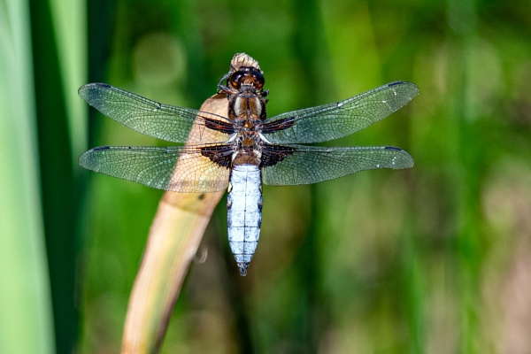 Broad-bodied Chaser  (Libellula depressa) by jimobee
