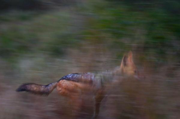 Jackal speed. by Coen