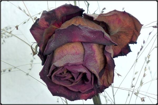 the dead rose by FabioKeiner