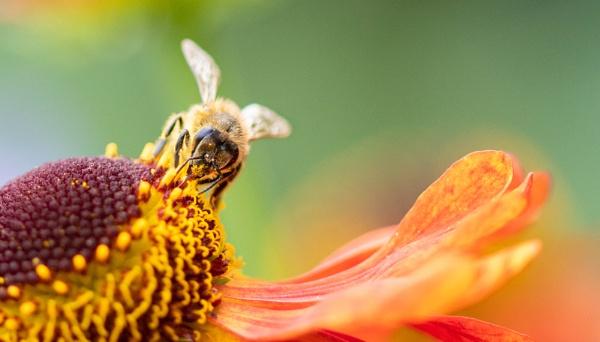 Honey Bee by Danny1970