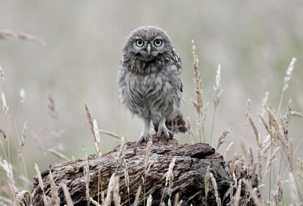 Fledgling little owl by AlexAppleby