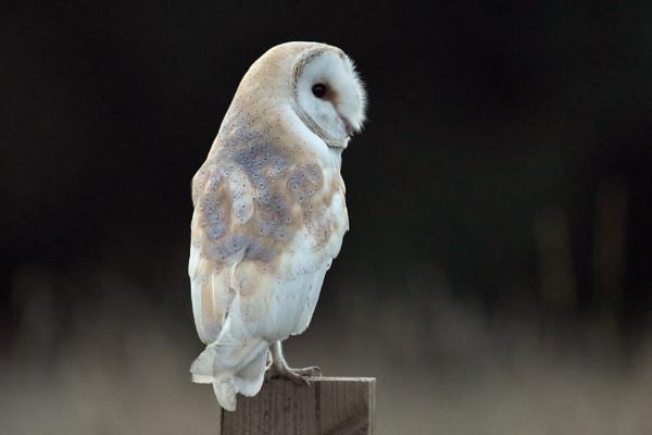 Barn Owl by AlexAppleby