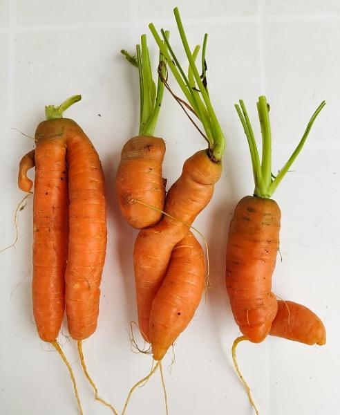 natural carrots by jeakmalt