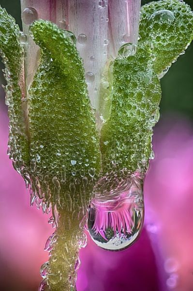 Mesembryanthemum with Water Droplet by iangilmour
