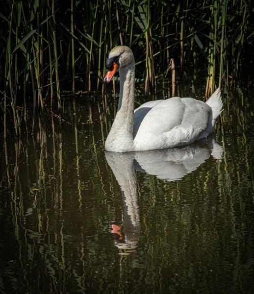 Swan by RonDM