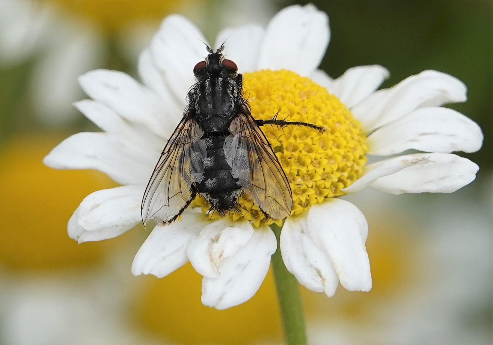Critter on a daisy