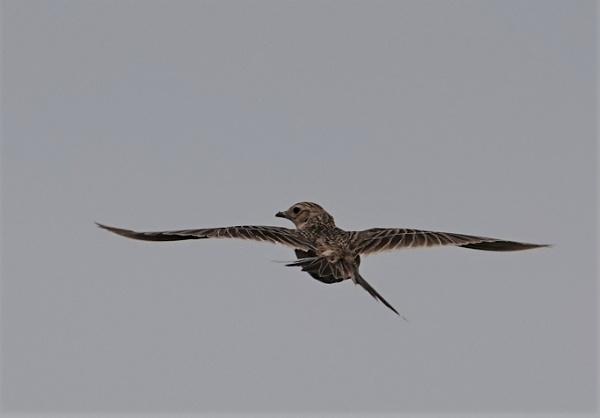 A skylark in flight by frogs123