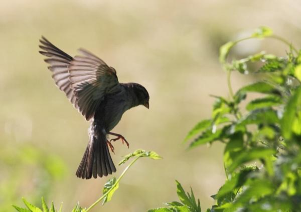Sparrow by Philipwatson