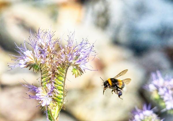 Bumblebee in Lohja 2 by hannukon