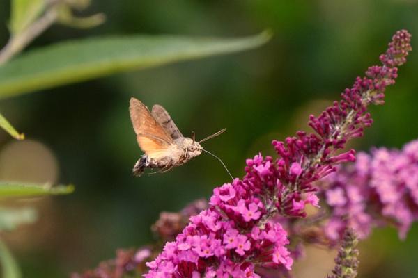 Humming Bird hawk moth. by simmo73