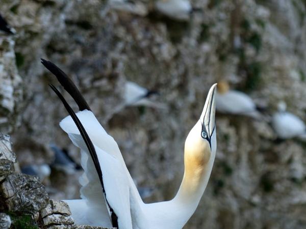 Gannet Greeting by BlueJonnyp