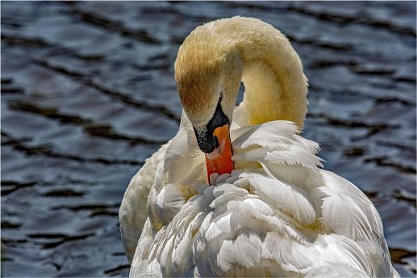 Mute Swan Preening by dven