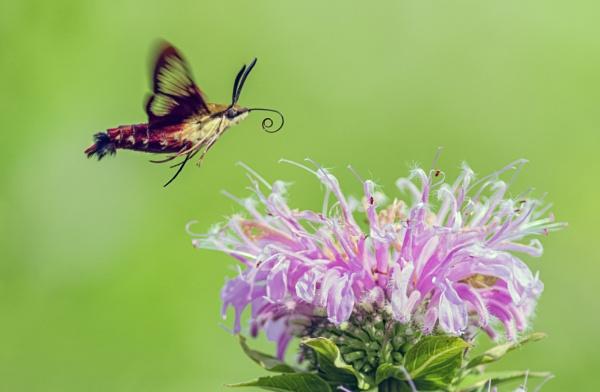 Hummingbird Moth (Clearwing Moth) by TDP43