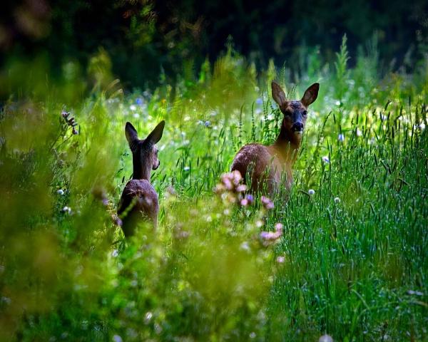 Deer by Dorothea