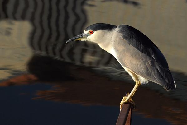 Black Crown Heron by Gbloniarz