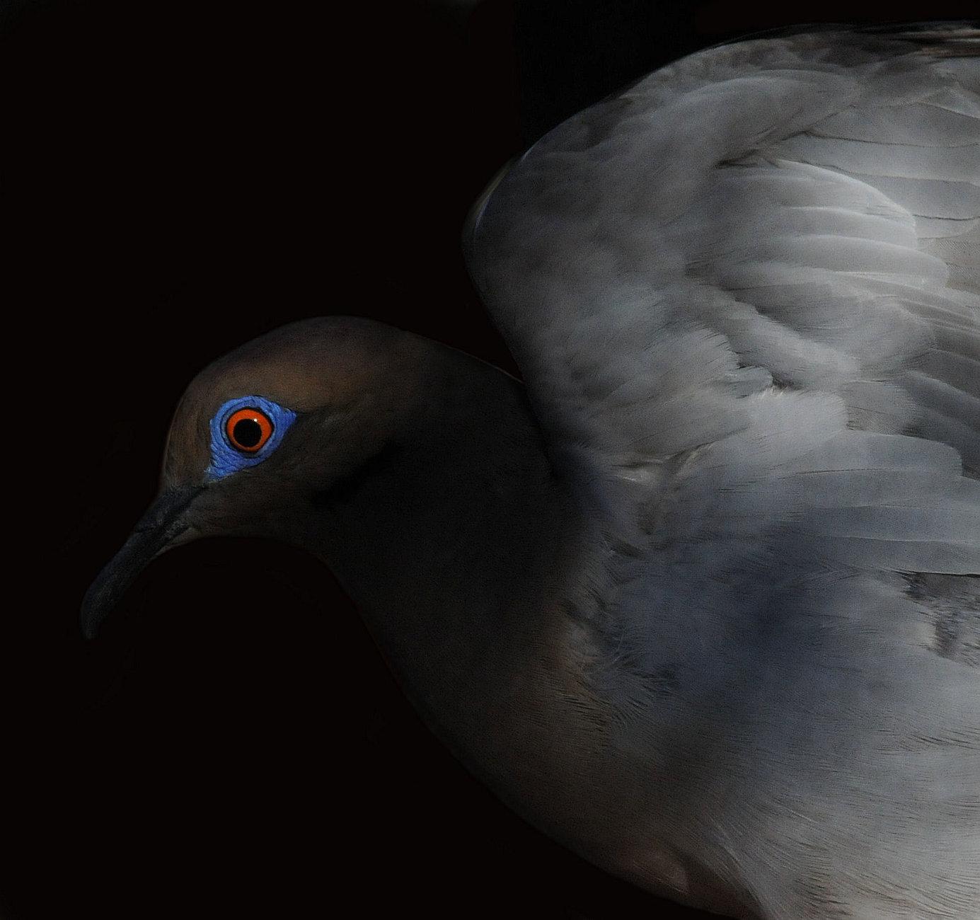 White-Wing Dove