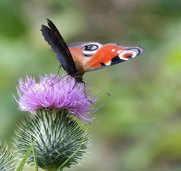 butterfly by joff76