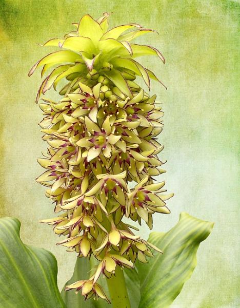 Pineapple Lily 1 by pamelajean