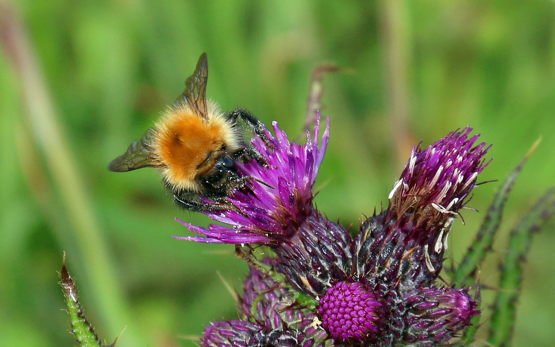 Great Yellow Bumblebee on thistle.