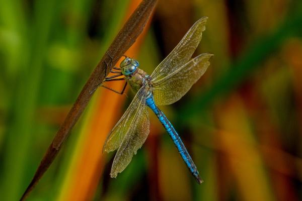 Emperor Dragonfly. by terra