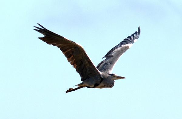 Grey heron in flight by oldgreyheron