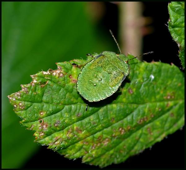 Green Shield Bug on a Bramble Leaf .. by Badgerfred