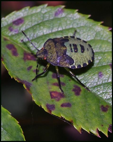 A Green Shield Bug on a Bramble Leaf .... by Badgerfred