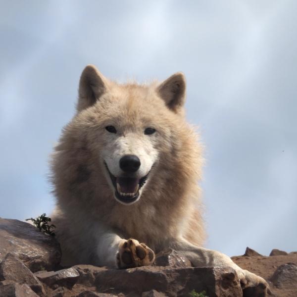 wolf by elmer1