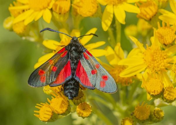 Six Spot Burnet Moth by Mike_Smith