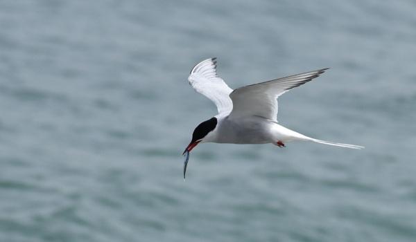 Comic Tern ! by mikejmb