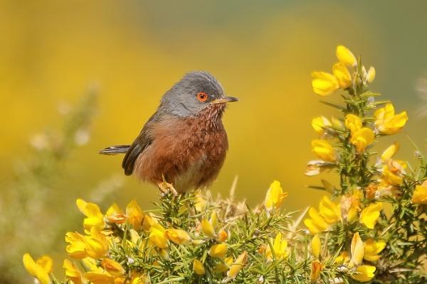 Dartford warbler\'s by colin beeley