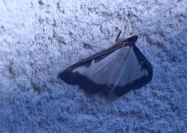 Box tree Moth by sparrowhawk