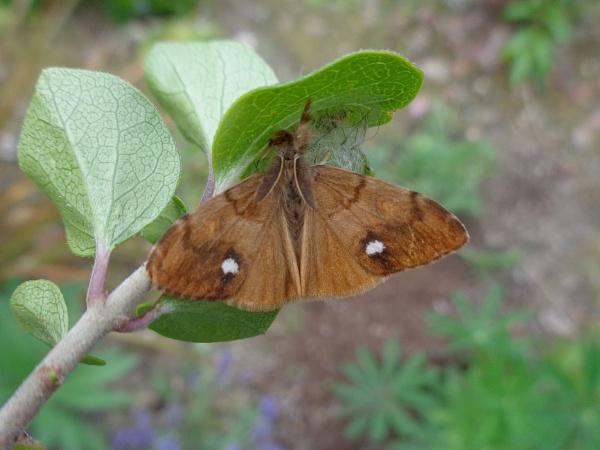 Vapourer Moth by TonyDy