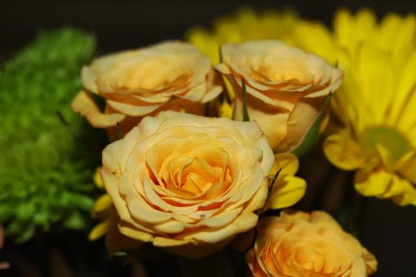 Roses by Merlin_k