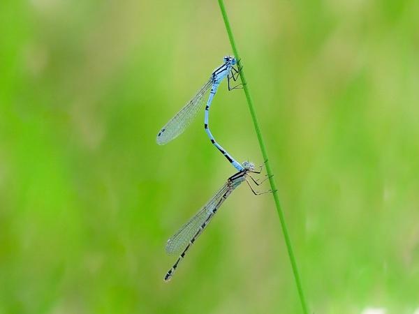 Common Blue Damselflies. by 64Peteschoice
