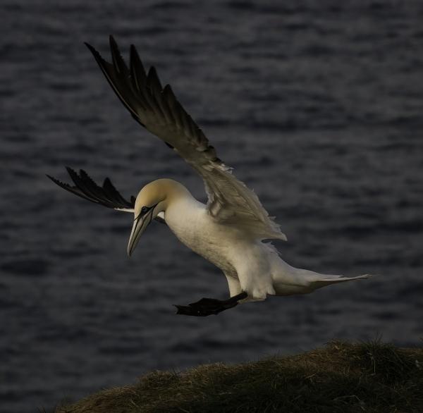 Gannet landing by esoxlucius