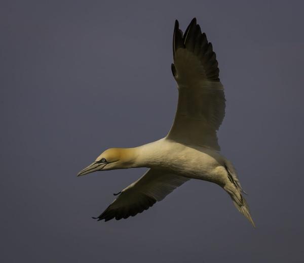 Gannet in flight by esoxlucius