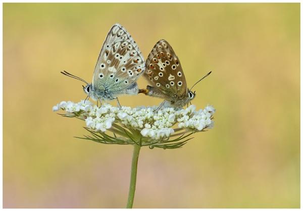 Chalk-hill Blues - Polyommatus coridon. by NigelKiteley