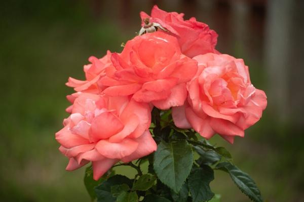 A New Rose by ctxuk