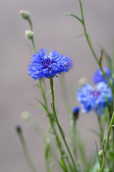 Blue Cornflowers growing in a garden in East Grinstead by Phil_Bird