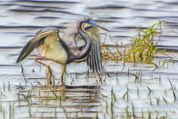 Heron by jbsaladino